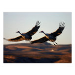 Sandhill Cranes at morning Poster