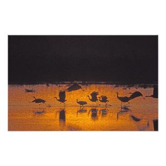 Sandhill Cranes el canadensis) del Grus Bosque Del Fotografía