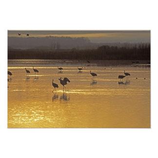 Sandhill Cranes el canadensis) del Grus Bosque Del Fotos