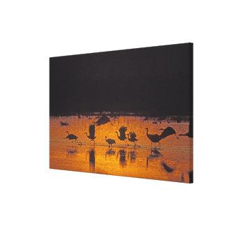 Sandhill Cranes el canadensis) del Grus Bosque Del Lona Envuelta Para Galerías