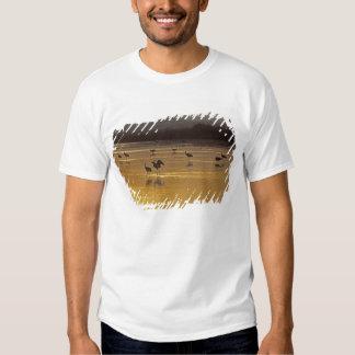 Sandhill Cranes el canadensis) del Grus Bosque Del Playera