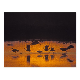 Sandhill Cranes el canadensis) del Grus Bosque Del Tarjeta Postal