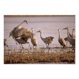 Sandhill Cranes el canadensis) del Grus Platte 2 Arte Fotográfico