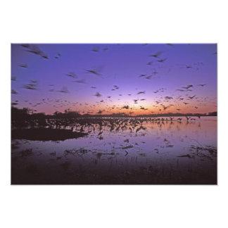 Sandhill Cranes el canadensis) del Grus Platte Fotografías