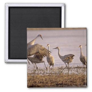 Sandhill Cranes el canadensis) del Grus Platte Imán Cuadrado