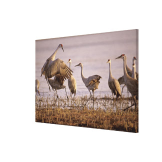 Sandhill Cranes el canadensis) del Grus Platte Lona Envuelta Para Galerias