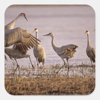 Sandhill Cranes el canadensis) del Grus Platte Pegatina Cuadrada