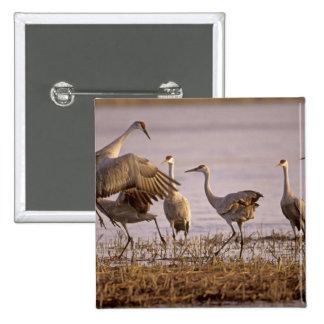Sandhill Cranes el canadensis) del Grus Platte Pin Cuadrado