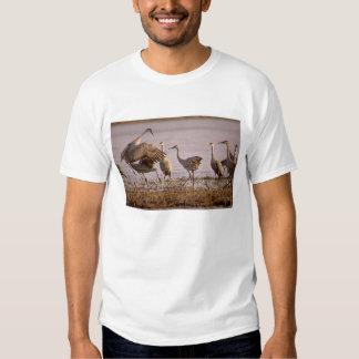 Sandhill Cranes el canadensis) del Grus Platte Playera