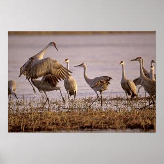 Sandhill Cranes el canadensis) del Grus Platte Póster