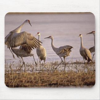 Sandhill Cranes el canadensis) del Grus Platte Tapete De Ratones