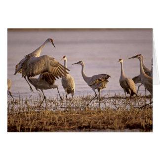 Sandhill Cranes el canadensis) del Grus Platte Tarjeta De Felicitación