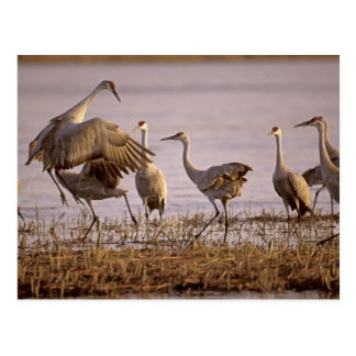 Sandhill Cranes el canadensis) del Grus Platte Tarjetas Postales