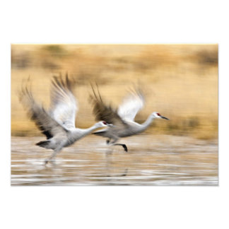 Sandhill Cranes Grus canadensis) adults in a Art Photo