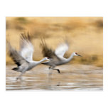 Sandhill Cranes Grus canadensis) adults in a Postcard