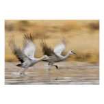 Sandhill Cranes Grus canadensis) adults in a Posters