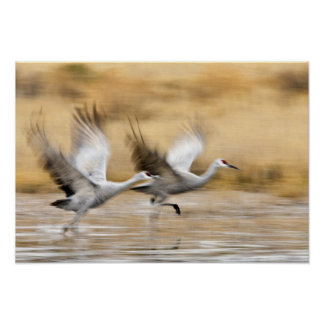 Sandhill Cranes Grus canadensis) adults in a Poster