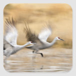 Sandhill Cranes Grus canadensis) adults in a Stickers