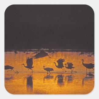 Sandhill Cranes Grus canadensis) Bosque Del 2 Square Sticker