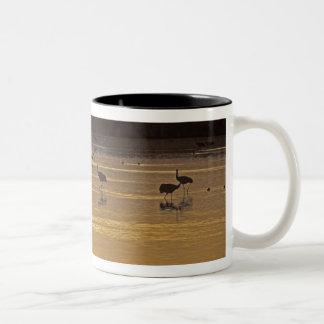 Sandhill Cranes Grus canadensis) Bosque Del Mugs