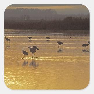 Sandhill Cranes Grus canadensis) Bosque Del Square Sticker