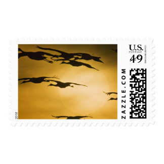 Sandhill Cranes (Grus canadensis) fly across the Postage