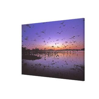 Sandhill Cranes Grus canadensis) Platte 2 Canvas Prints