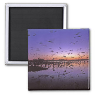 Sandhill Cranes Grus canadensis) Platte 2 Refrigerator Magnet