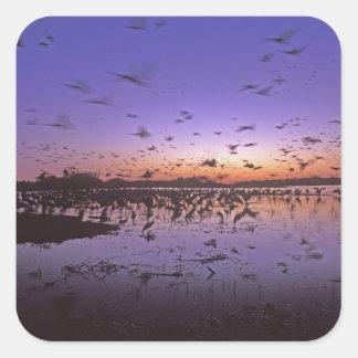 Sandhill Cranes Grus canadensis) Platte 2 Square Sticker