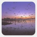 Sandhill Cranes Grus canadensis) Platte 2 Square Stickers