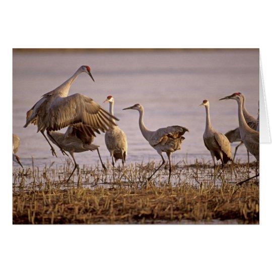 Sandhill Cranes Grus canadensis) Platte Card