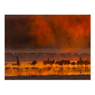 Sandhill cranes in sunrise fog 2 postcard