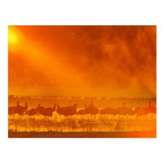 Sandhill cranes in sunrise fog 3 postcard