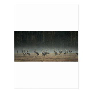 Sandhill Cranes in the Early Morning Spring Mist Postcard