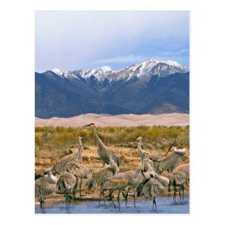Sandhill Cranes la foto Tarjetas Postales