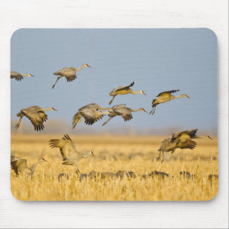 Sandhill cranes la tierra en campos de maíz tapete de raton
