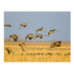 Sandhill cranes la tierra en campos de maíz tarjeta postal