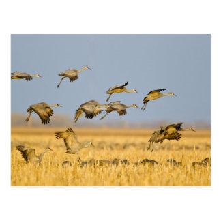 Sandhill cranes la tierra en campos de maíz tarjetas postales