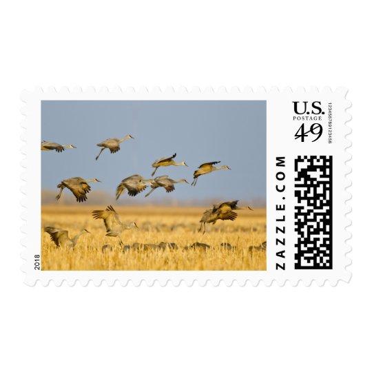 Sandhill cranes la tierra en campos de maíz timbres postales