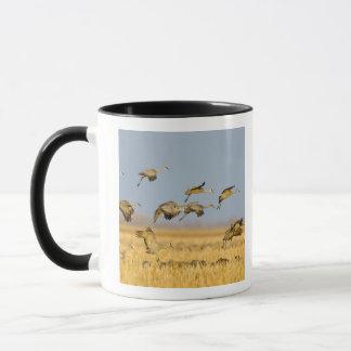 Sandhill cranes land in corn fields mug