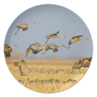Sandhill cranes land in corn fields plate