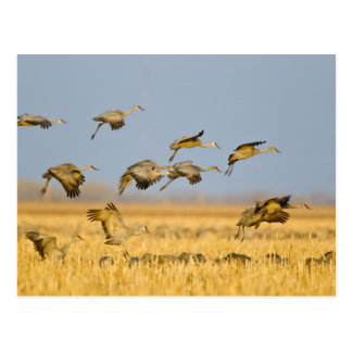 Sandhill cranes land in corn fields postcard