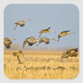 Sandhill cranes land in corn fields square sticker