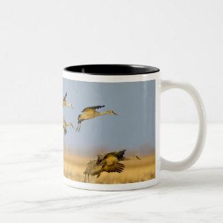 Sandhill cranes land in corn fields Two-Tone coffee mug