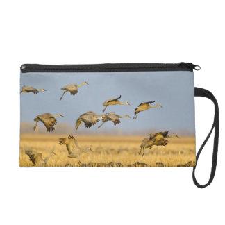 Sandhill cranes land in corn fields wristlet