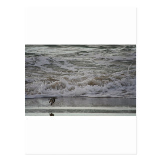 Sandling in Flight, Horsfall Beach, OR Postcard