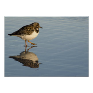 Sandpiper on Water Print