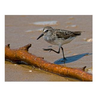 Sandpiper Postcard