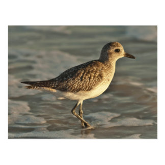 Sandpiper standing in ocean on the beach postcard