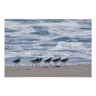 Sandpipers on Beach Posters
